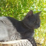 Chat perdu à Batz-sur-Mer 44740 : Minoush, Russe