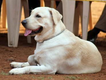 Max, Labrador à Aix-en-Provence