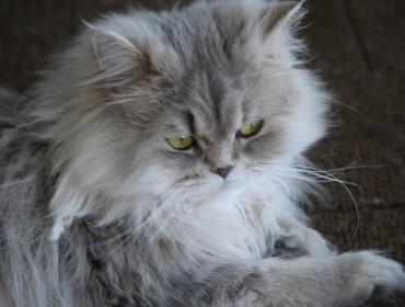 Chat perdu à Aix-en-Provence 13100 : Cookie, Persan