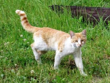 Chat perdu à Coudoux : Kilou, Européen