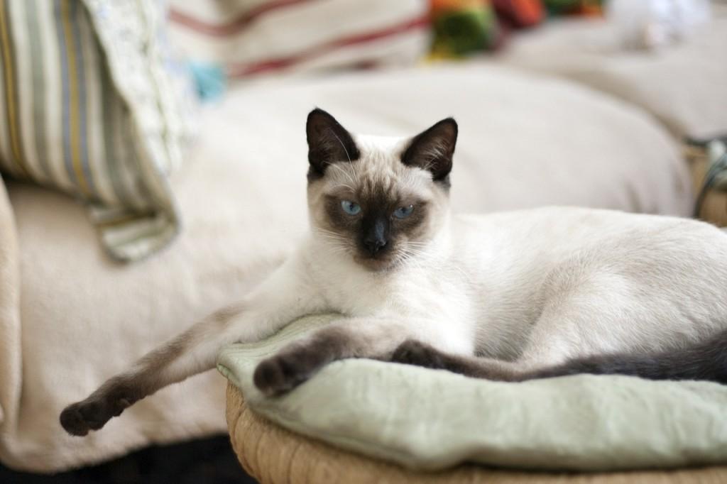 Chat perdu à Martigues  : moka, Ragdoll