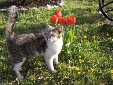Chat perdu à Aix-en-Provence : Sisiphe, Européen
