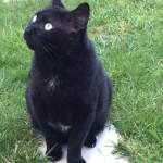 Chat à adopter à Nantes  : LAMA, Européen