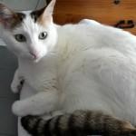 Chat à adopter à Nantes  : SKY, Européen