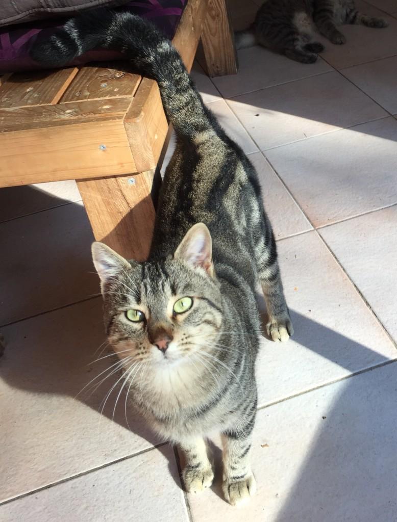 Chat perdu à Saint-Vincent-de-Barbeyrargues  : Tigrou, Européen
