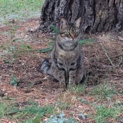 Chat perdu à Cabriès 13480 : Sauvage , Européen
