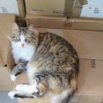 Chat perdu à Amiens 80000 : Lilith, Norvégien