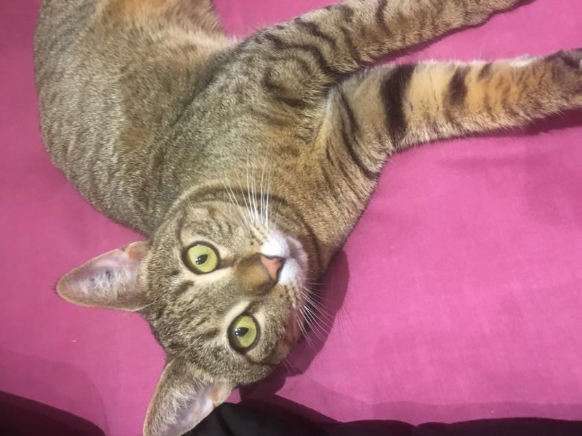 Chat trouvé à Aix-en-Provence , Européen