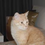 Chat perdu à Romainville 93230 : bibou, Chat de gouttière
