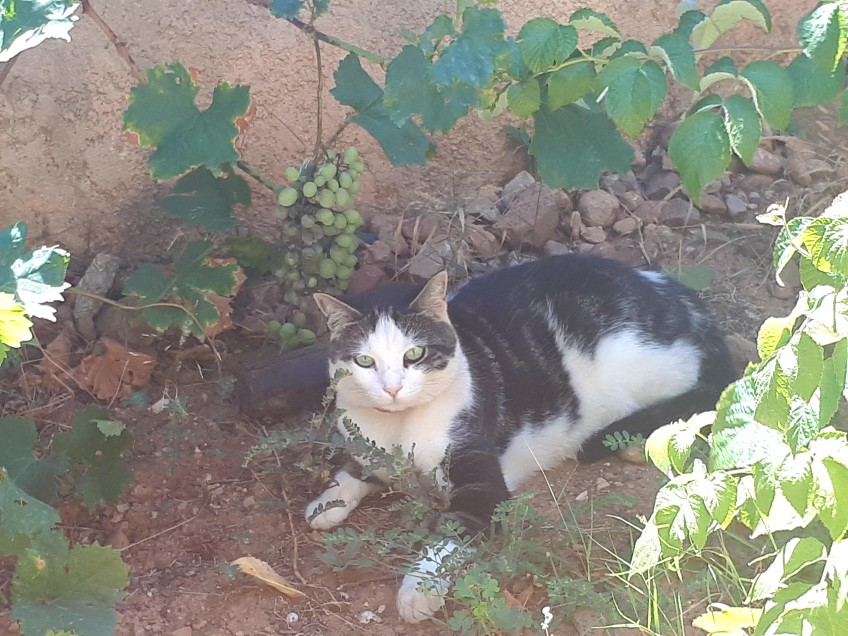 Chat perdu à Martigues  : Cookie, Européen