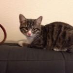 Chat perdu à Fontenay-sous-Bois  : ITT, Européen