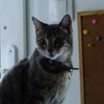 Chat perdu à Montreuil 93100 : Grenouille, Européen