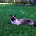 Chat perdu à Fontenay-sous-Bois 94120 : Jagger, Siamois