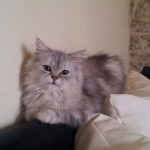 Chat perdu à Chantonnay 85110 : Chouba, Européen