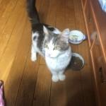 Chat trouvé à Paris 75009, Européen