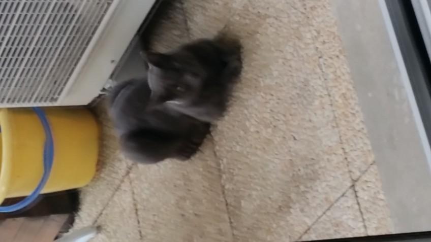 Chat perdu à Triel-sur-Seine 78510 : Ioda, Persan