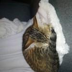 Chat perdu à Batz-sur-Mer 44740 : Caramel, Chat de gouttière
