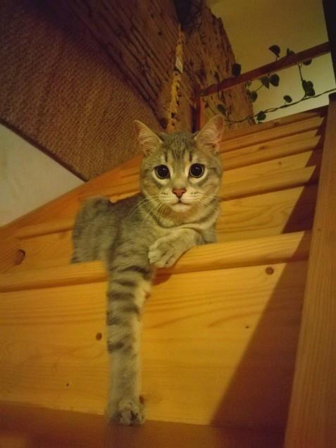 Chat perdu à Grenade 31330 : chat-rabia, Européen