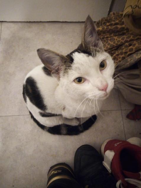 Chat trouvé à Romainville 93230, Chat de gouttière