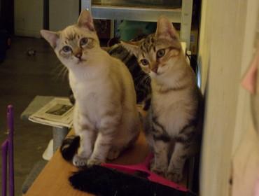 Chat perdu à Épinal 88000 : Brownies, Chat de gouttière