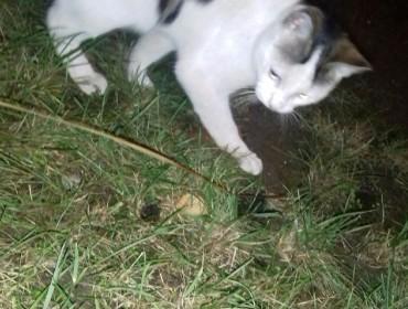 Chat trouvé à Bagnolet 93170, Européen