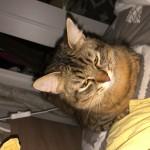 Chat perdu à Pontault-Combault 77340 : Tomy , Chat de gouttière