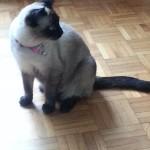 Chat perdu à Auby 59950 : legende, Siamois
