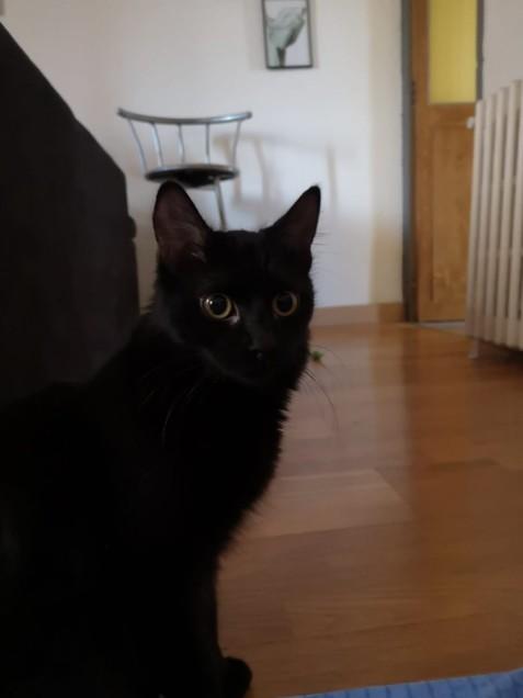 Chat trouvé à Nîmes 30000, Européen