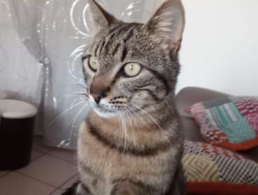 Chat perdu à Leigneux 42130 : Tigrou, Chat de gouttière
