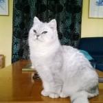 Chat perdu à Coubert 77170 : Plume , Persan