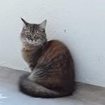 Chat perdu à Marseille 13004 : Praline, Européen