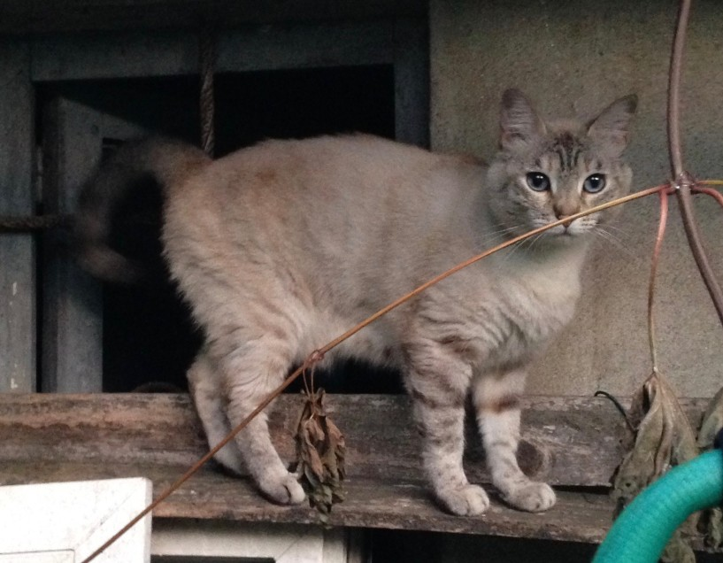 Chat perdu à Romainville 93230 : BUBI, Croisé