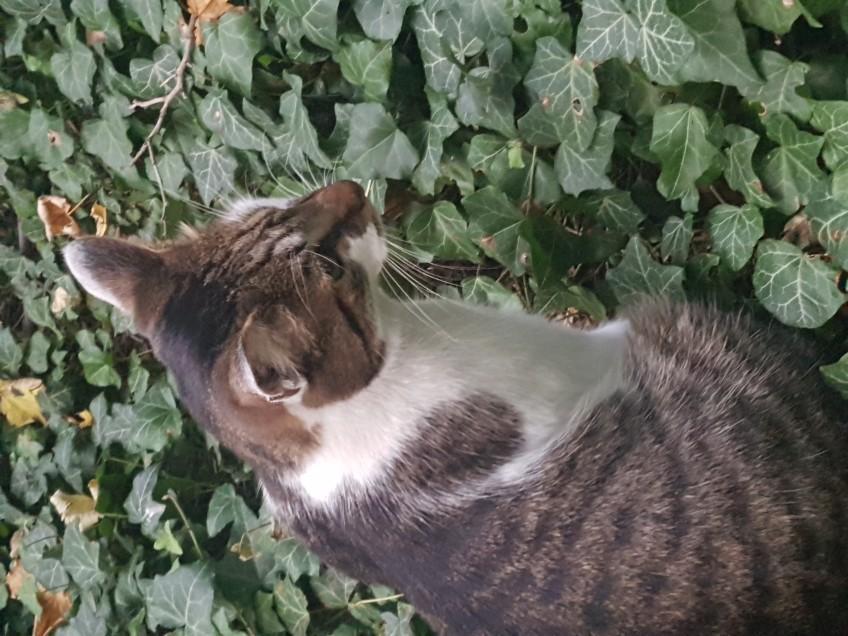 Chat trouvé à Rosny-sous-Bois 93110, Européen