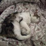 Chat perdu à Rosny-sous-Bois 93110 : Zip, Européen