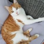 Chat perdu à Rosny-sous-Bois 93110 : Arthur, Européen