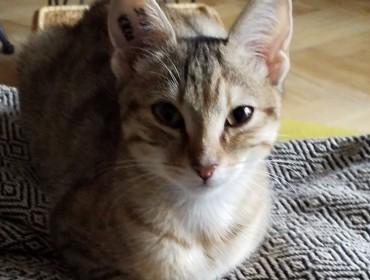 Chat perdu à Montreuil : Linette, Européen