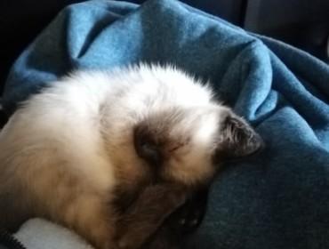 Chat perdu à Noisy-le-Sec 93130 : Caramelle, Siamois