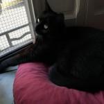 Chat perdu à Panossas 38460 : Loulou, Chat de gouttière