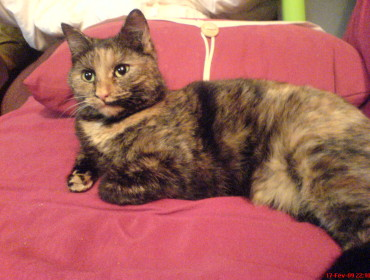 Chat perdu à Vitry-sur-Seine 94400 : gaïa, Chat de gouttière