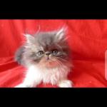 Chat à adopter à Privas 07000 : Cindy et miky, Persan