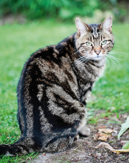 Chat perdu à Saint-Ouen 93400 : MANOUCHE, Européen