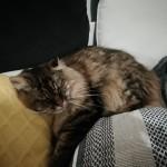 Chat perdu à La Merlatière 85140 : Titi, Européen