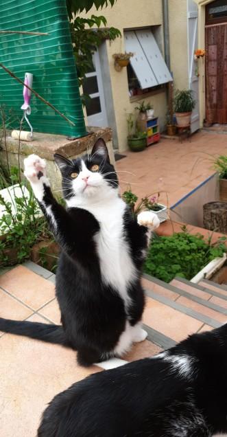 Chat perdu à L'Isle-Jourdain 32600 : Figaro , Européen