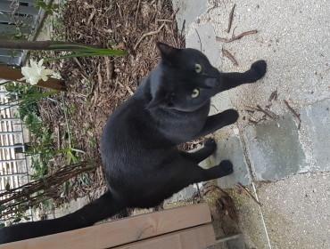 Chat trouvé à Montreuil 93100, Européen