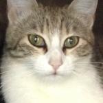 Chat perdu à Colomiers 31770 : Mistache, Chat de gouttière