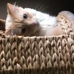 Chat perdu à Les Lilas 93260 : Mistli, Européen