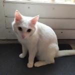 Chat perdu à Montreuil 93100 : Flocon, Chat de gouttière