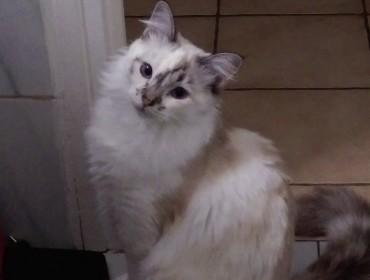 Chat perdu à Paimbœuf 44560 : Perline, Européen
