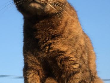 Chat perdu à Sartrouville 78500 : Tigresse , Européen
