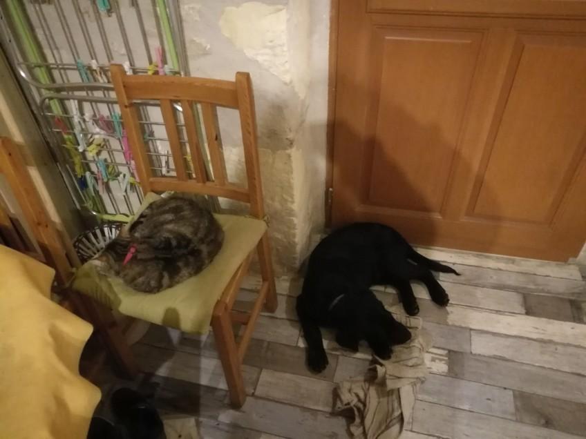 Chat perdu à Naussannes 24440 : ORCHIDÉE , Chat de gouttière